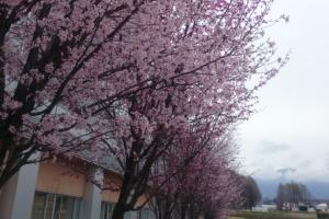4月24日大学内の桜