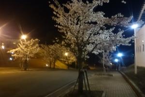大学敷地内のサクラのライトアップ!